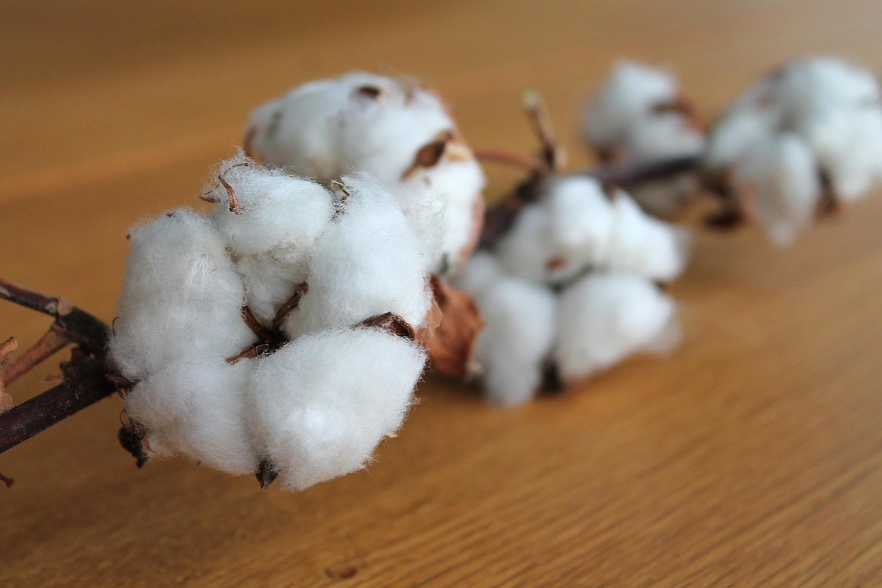 Anbau und Ernte der Baumwolle